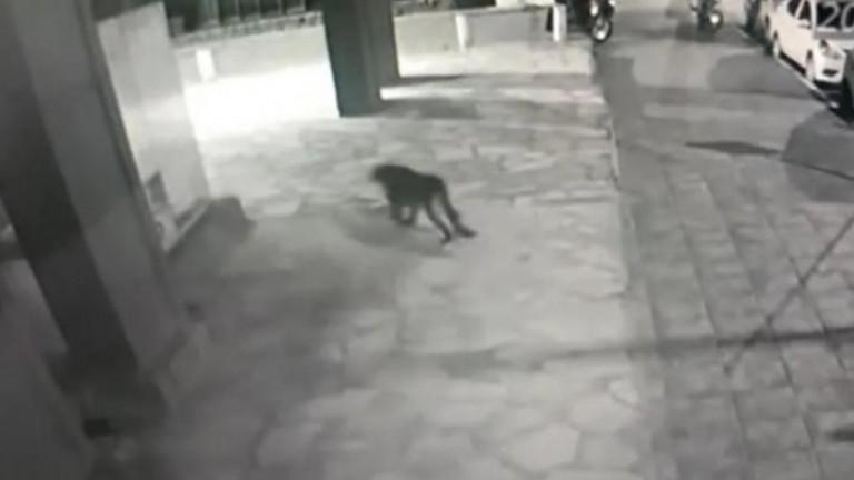 Buscan a un puma que anduvo suelto por el centro de Bariloche